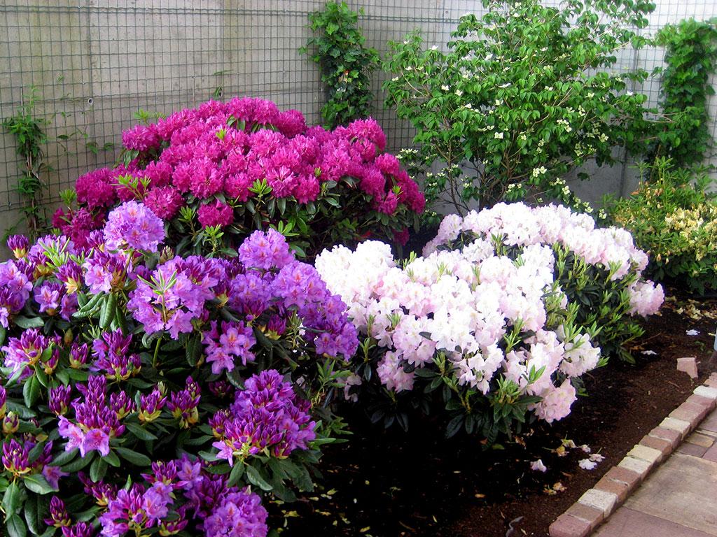 Gartengestaltung Naturstein Rhododendron